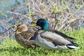 Couple of mallard ducks at spring, Seine River, France