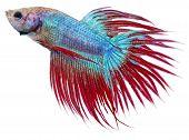 Siamese Figthing Fish (Betta Splendens)