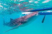 stock photo of plankton  - Underwater shoot of a gigantic whale sharks  - JPG