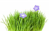picture of catnip  - fresh grass growing with periwinkle flowers over white background - JPG