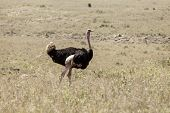 wild ostrich in Nairobi National Park, Kenya