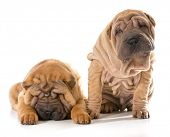 pic of shar-pei puppy  - two chinese shar pei puppies isolated on white background  - JPG