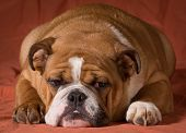 english bulldog puppy laying down looking at viewer on orange background