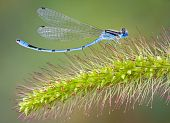 Curved Damselfly On Foxtail