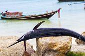 foto of spearfishing  - Sailfis death on a rocky ocean background - JPG