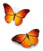 Two Orange Butterflies On White