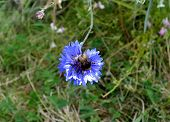 picture of bumble bee  - The bumble-bee on a blue corn- flower