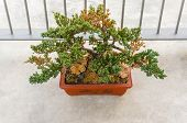 stock photo of bonsai  - Old bonsai tree growing in an indoor garden - JPG