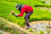 Thai Rice Farmer Working