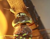 up close dragonfly face