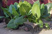 picture of elephant ear  - The African kitchen garden landscape  - JPG