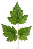Ideal Green Leaf