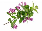 Spring Magenta Branch Isolated