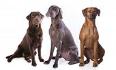 group of dogs,  weimaraner, Labrador Retriever,Rhodesian ridgeback  dog