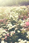 Background of bouquet of pink blooming rose bush. Natural flowers. Toned