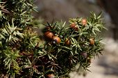 stock photo of juniper-tree  - juniper on a natural background with water drops after rain - JPG