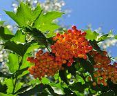 Berries Of A Guelder-rose (viburnum)