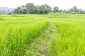 Paddy Field And Cottage In Thailand