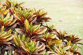 image of crotons  - Codiaeum variegatum close up shot in nature - JPG