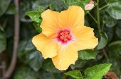 foto of hibiscus flower  - Shoe Flower Chinese Rose or Hibiscus flowers on the branch was taken in nature - JPG