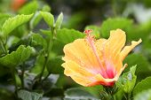 image of hibiscus flower  - Shoe Flower Chinese Rose or Hibiscus flowers on the branch was taken in nature - JPG