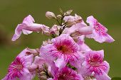 pic of trumpet flower  - large flower cluster of Pandorea Ricasoliana  - JPG