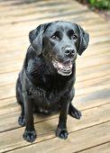 image of seeing eye dog  - Black lab sitting on a wood floor - JPG