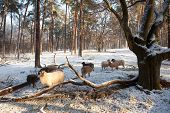 Sheep In Winter Forest In The Netherlands