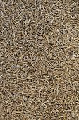 picture of cumin  - Cumin seeds  - JPG