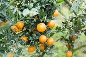 picture of orange-tree  - Oranges on trees at an orange farm - JPG