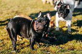 stock photo of french bulldog puppy  - Beautiful French Bulldog Puppies Dog Outdoor In Spring - JPG