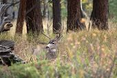 pic of mule  - A large mule deer buck standing in a meadow with aspen trees in the background in Rocky Mountain National Park near Estes Park Colorado - JPG
