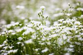 pic of greater  - White flowers of Stellaria holostea  - JPG