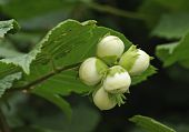 Hazel nuts - Corylus avellana