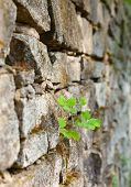 Old Stone Moss-grown Masonry With Greater Celandine
