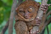 Little Tarsier