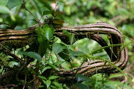 pic of anaconda  - This was explained to us as an anaconda vine while we were in Costa Rica - JPG