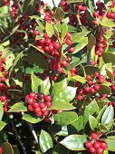 Holly Red Berries