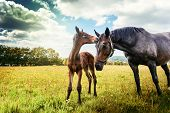 image of foal  - Summer country landscape with horse and foal at green field - JPG