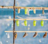 image of stick-bugs  - image of Butterfly Pupa hang on wooden stick - JPG