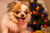 stock photo of long hair dachshund  - Long Haired Chihuahua at Christmas in front of tree with lights - JPG