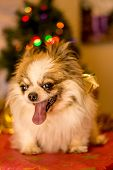 picture of long hair dachshund  - Long Haired Chihuahua at Christmas in front of tree with lights - JPG