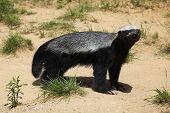 picture of badger  - Honey badger  - JPG