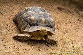 picture of spurs  - African Spurred Tortoise is the largest tortoise of the African mainland - JPG
