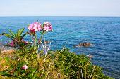 stock photo of oleander  - Pink oleander flowers and the blue sea - JPG