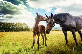 image of fillies  - Summer country landscape with horse and foal at green field - JPG