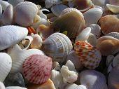Tropische Muscheln am Strand