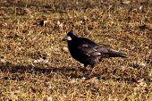 bird, black raven,
