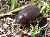 Escarabajo abejorro (Melolontha Hippocastani)