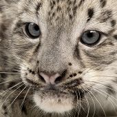 foto of panthera uncia  - Snow leopard - JPG